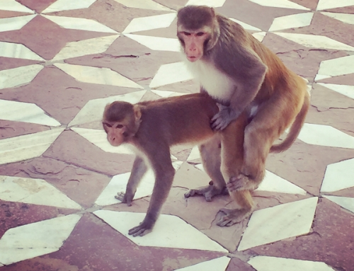 Monkey Love, Taj Mahal